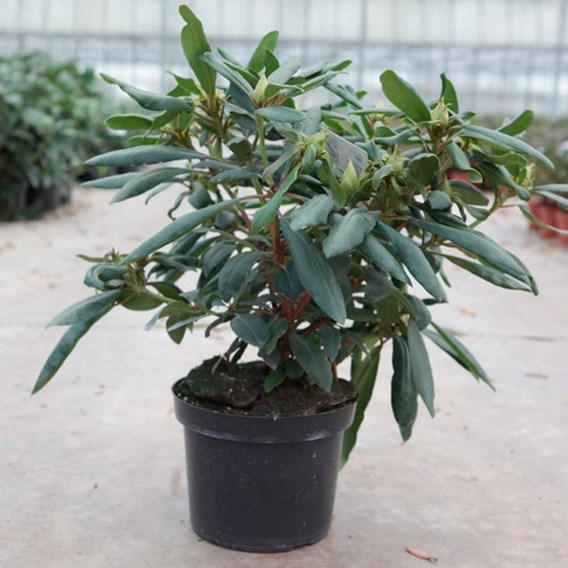 Rhododendron Plant - Marcel Menard
