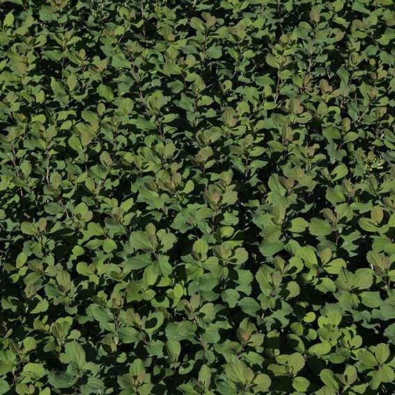 Spiraea Betulifolia Tor