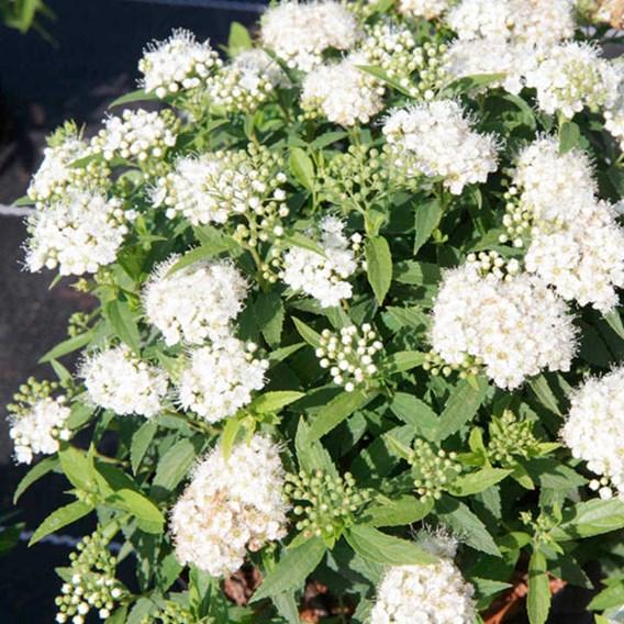 Spiraea japonica Plant - Albiflora