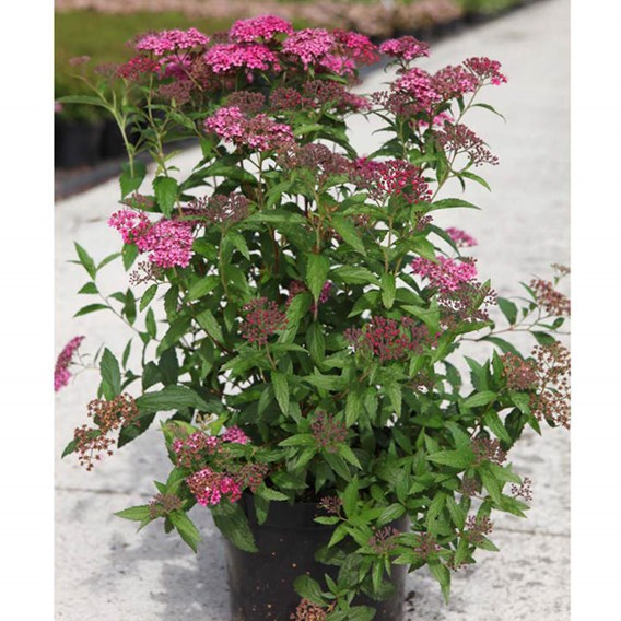 Spiraea Japonica Double Play Artist