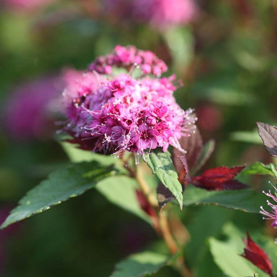 Spiraea Japonica Double Play Big Bang
