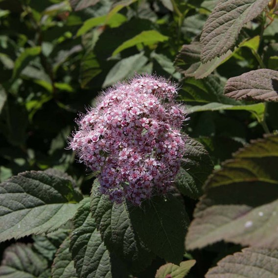 Spiraea japonica Plant - Superstar® First Editions®