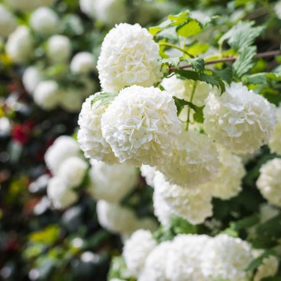 Viburnum opulus Plant - Roseum