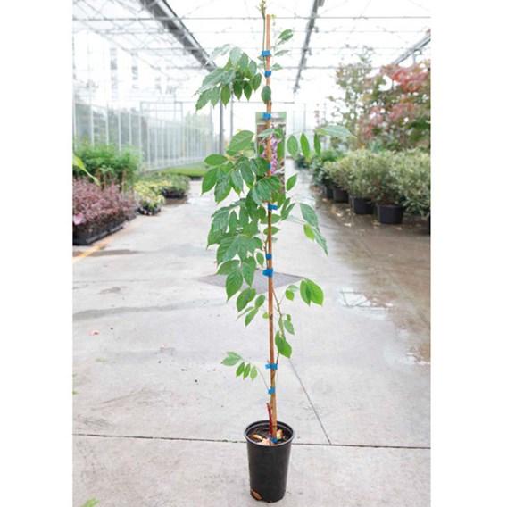 Wisteria formosa Plant - Issai (syn. Domino)
