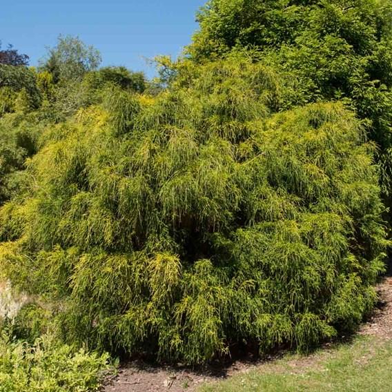 Chamaecyparis p. Plant - Filifera Nana
