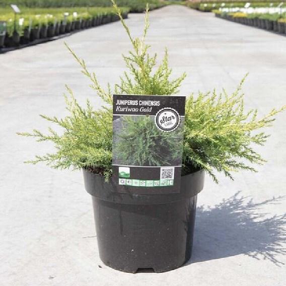 Juniperus Chin. Kuriwao Gold
