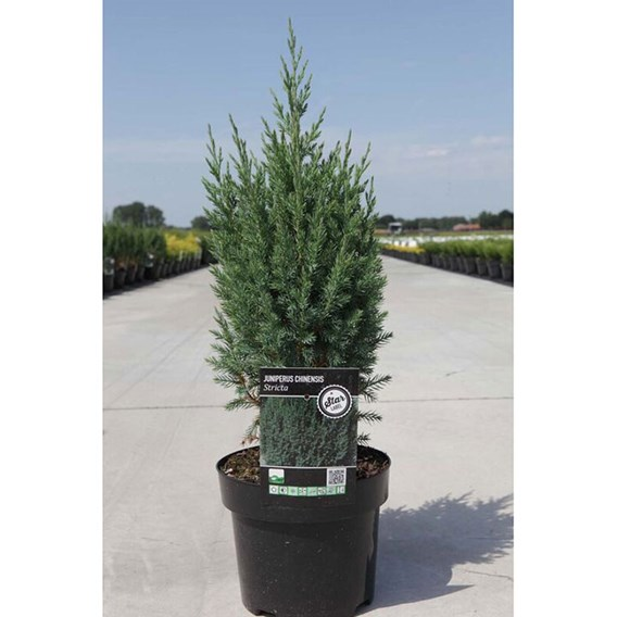 Juniperus Chin. Stricta