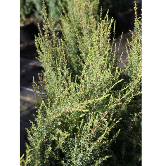 Juniperus communis Plant - Compressa