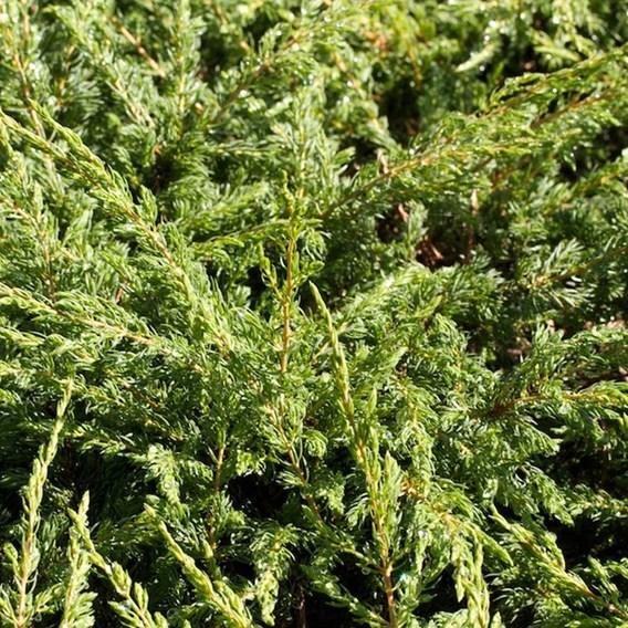 Juniperus Comm. Repanda