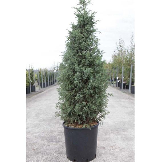Juniperus Conferta Allgold
