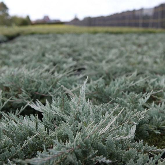 Juniperus Hor. Golden Carpet