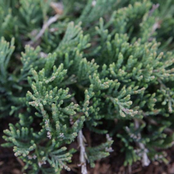 Juniperus Hor. Wiltonii