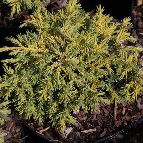 Juniperus Pf. Goldkissen