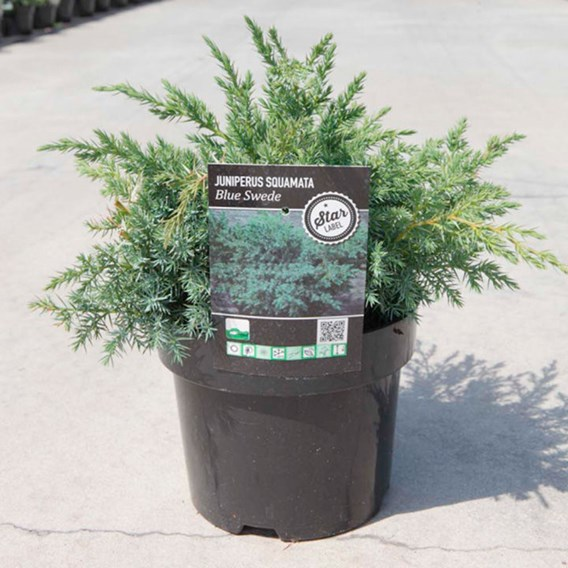 Juniperus Squamata Blue Swede