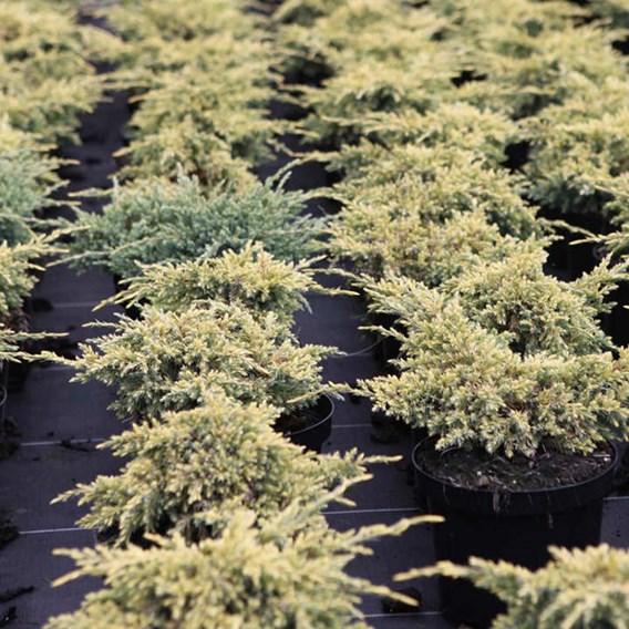 Juniperus Squamata Loderi