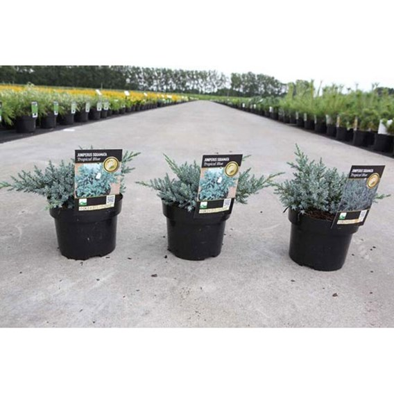 Juniperus Squamata Tropical Blue