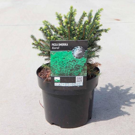 Picea Omorika Karel