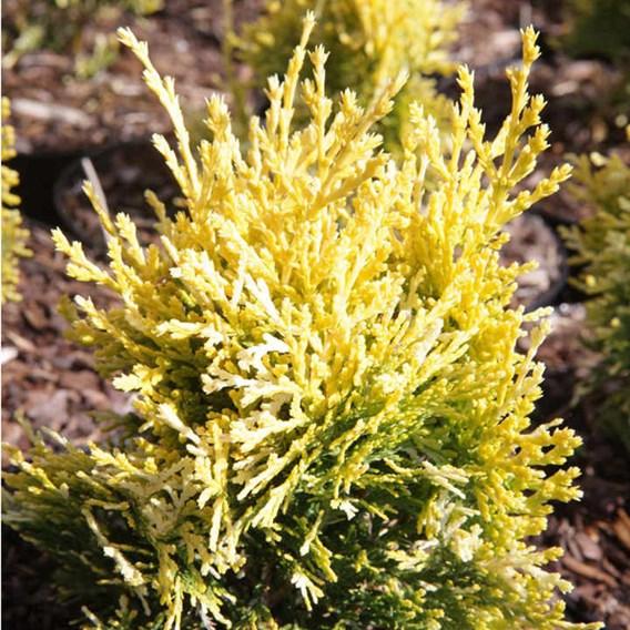 Platycladus Or. Pyramidalis Aurea (Thuja)