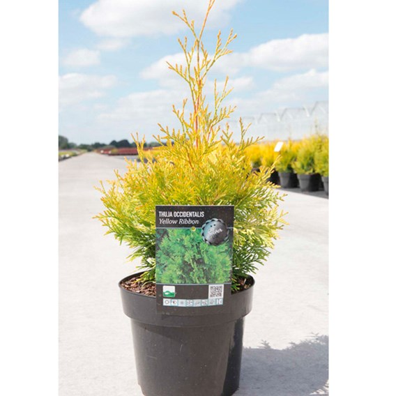 Thuja Occ. Yellow Ribbon