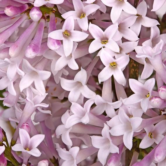 Lilac (Syringa) Miss Kim