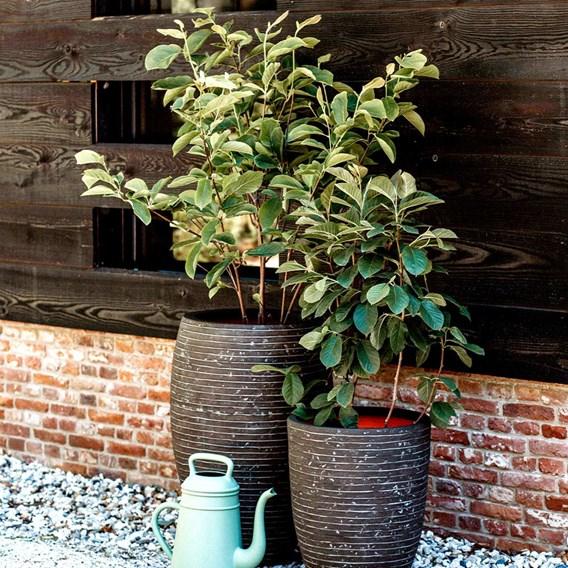 Deluxe Vase Row - Olive Green