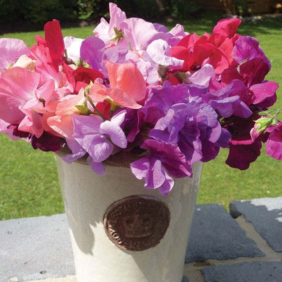 Sweet Pea Spencer Mix