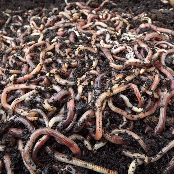Brandling Worms for Compost