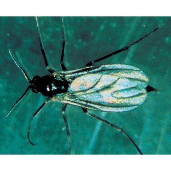 Biological Control - Scariad Fly (Fungus Gnats)