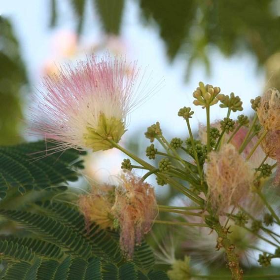Albizia julibrissin Plant - Ombrella
