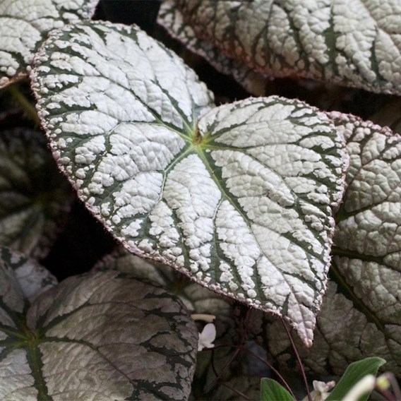Begonia Silver Lace