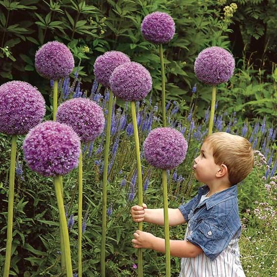Allium Giganteum Bulbs