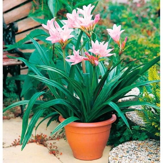 Amarcrinum Bulbs - Howardii