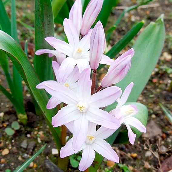 Chionodoxa Bulbs - Pink Giant