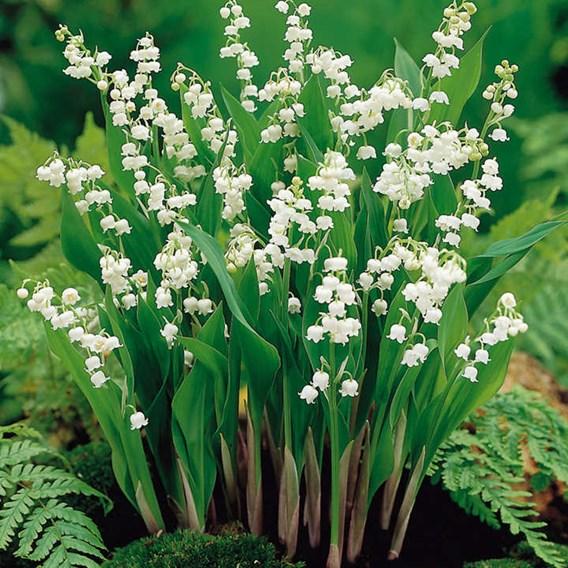 Convallaria majalis Roots (20)