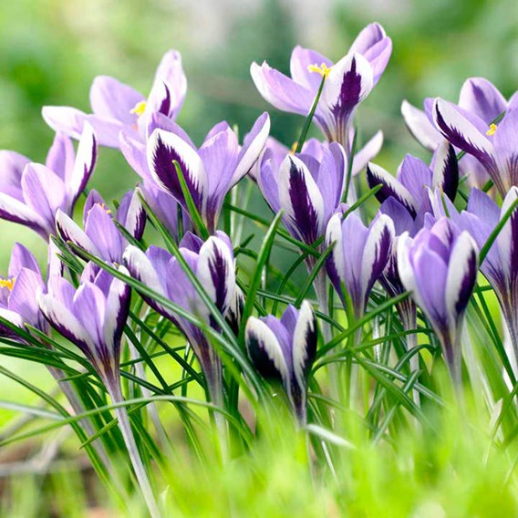 Crocus Bulbs - Spring Beauty