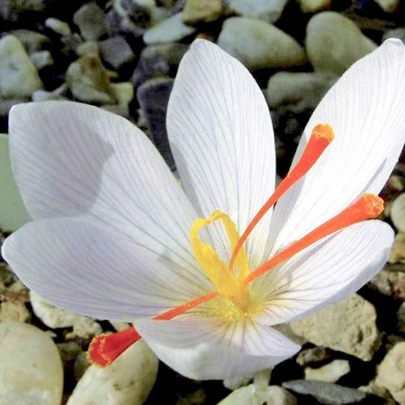 Saffron Crocus Bulbs - White