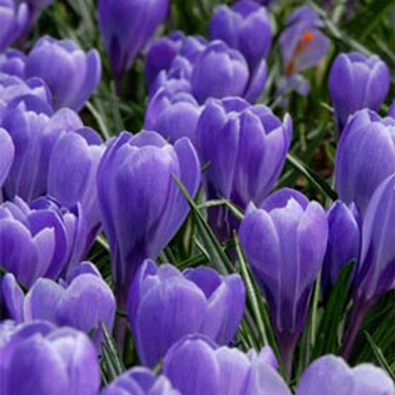 Crocus Bulbs - Grand Maitre(25)