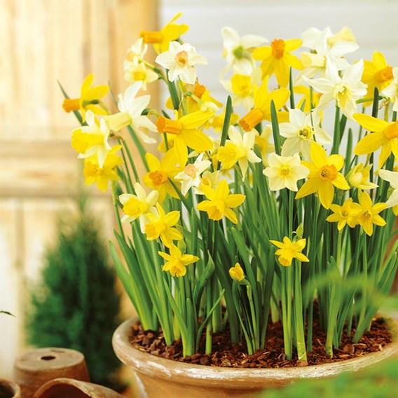 Daffodil Miniature Bulbs - Patio Mix