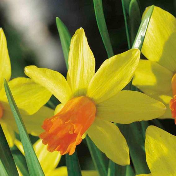 Daffodil Bulbs - Miniature Collection
