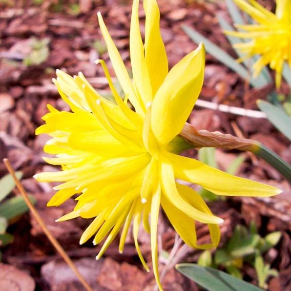 Narcissus Bulbs - Rip Van Winkle(25)