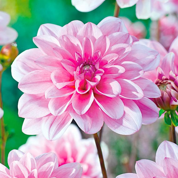 Dahlia Waterlily Pink Perception 2