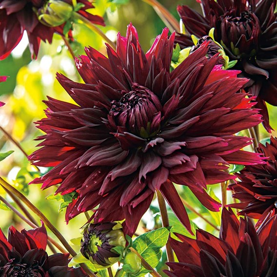 Dahlia Black Touch