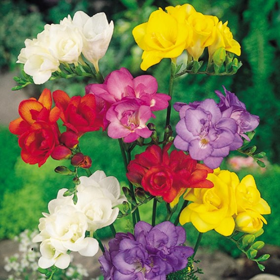 Freesia Corms - Double Mix