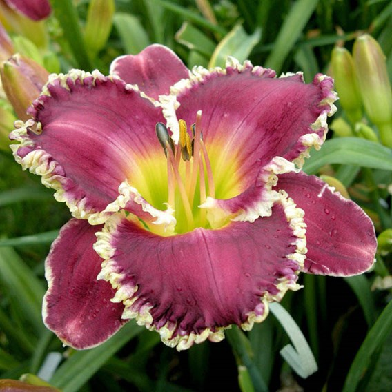Hemerocallis Bettylen (3)