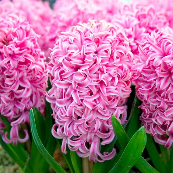 Hyacinth Bulbs (Indoor) - Pink Pearl