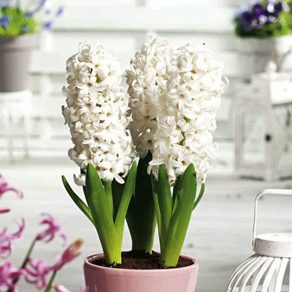 Hyacinth Bulbs (Indoor) - White Pearl