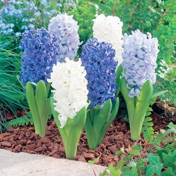 Hyacinth Bulbs - Ocean Mix