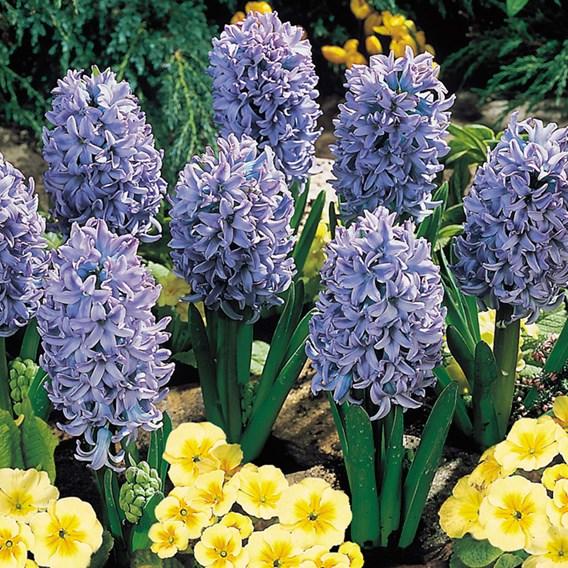Hyacinth Bulbs - Delft Blue