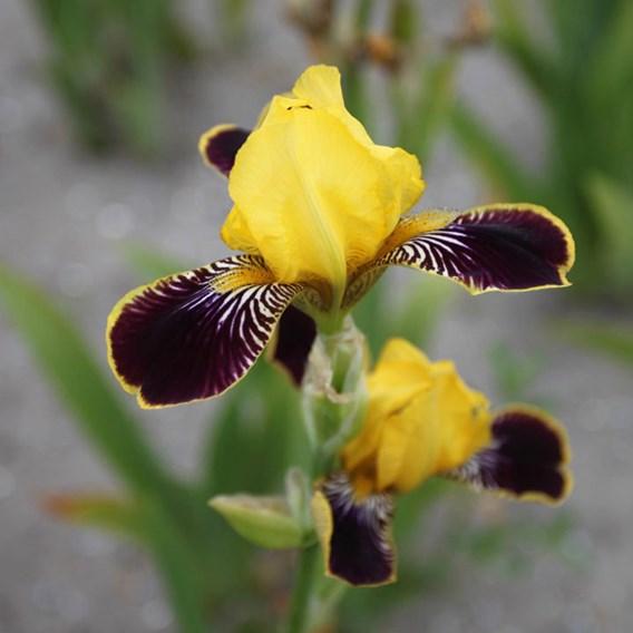 Iris Germanica Bumblebee Deelite