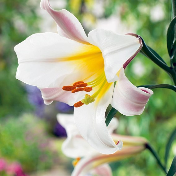 Lily Bulbs - Tree Collection